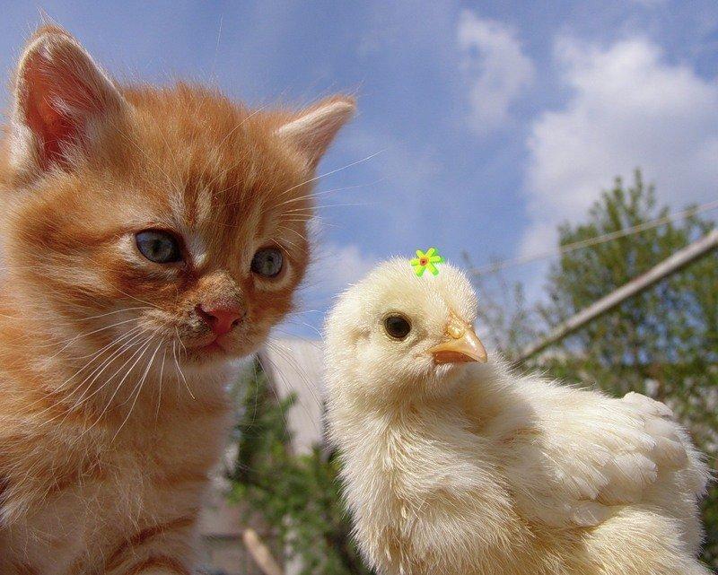 Картинка кошки и курицы