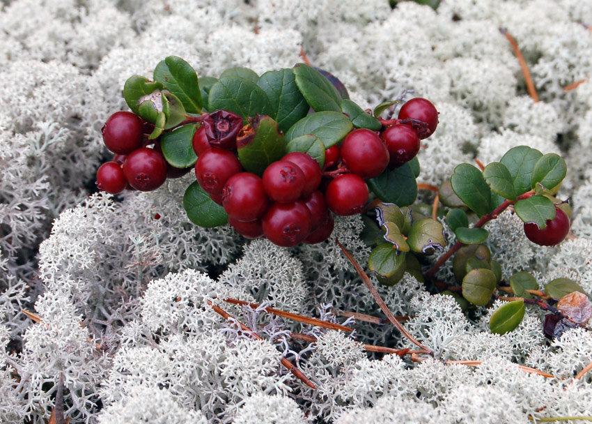 свои ягоды севера россии с фото и описанием предлагаем вам