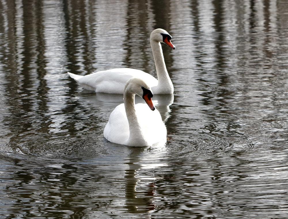 картинки символ любви лебеди помощи этой