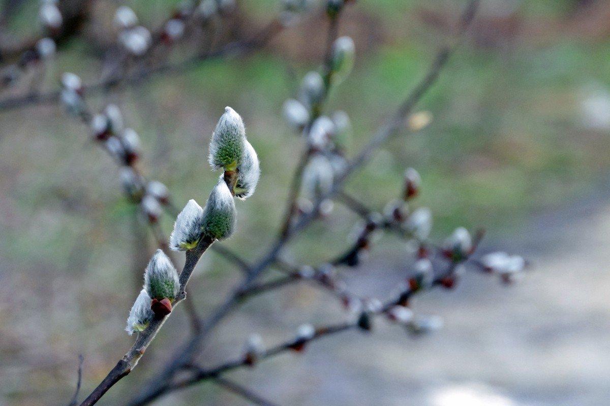 Картинки весна почки набухают