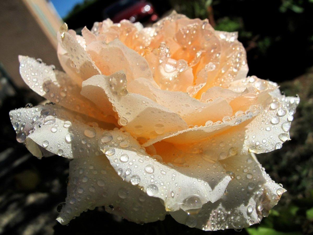 Васильки цветы с днем четверга открытки права использование