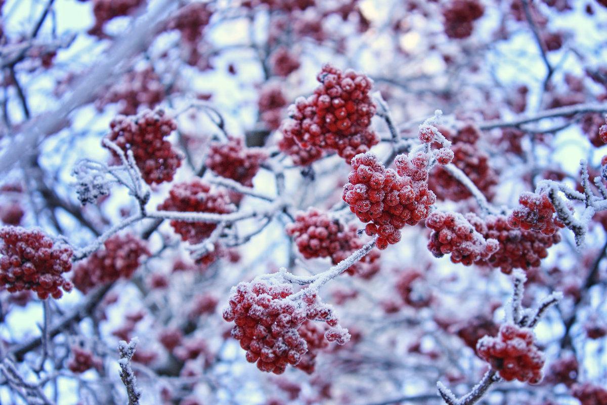 всегда рисунок из ягод на снегу фото шантильи