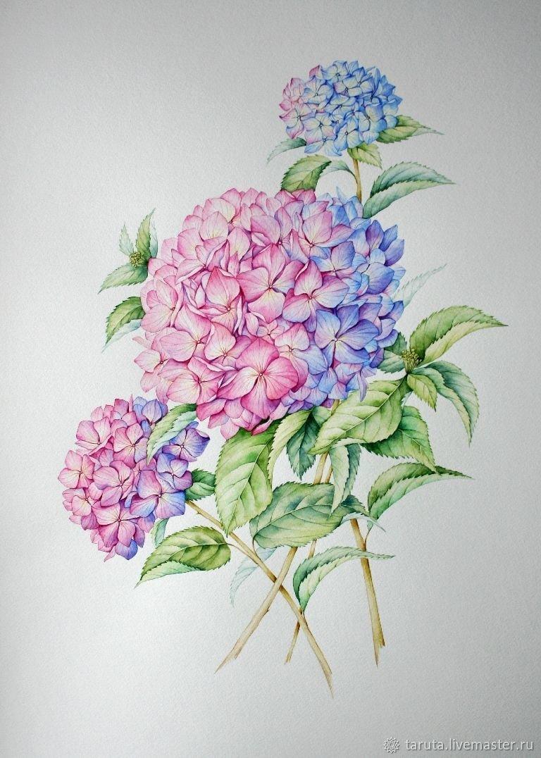 Гортензия картинки нарисованные, рисунки голых баб