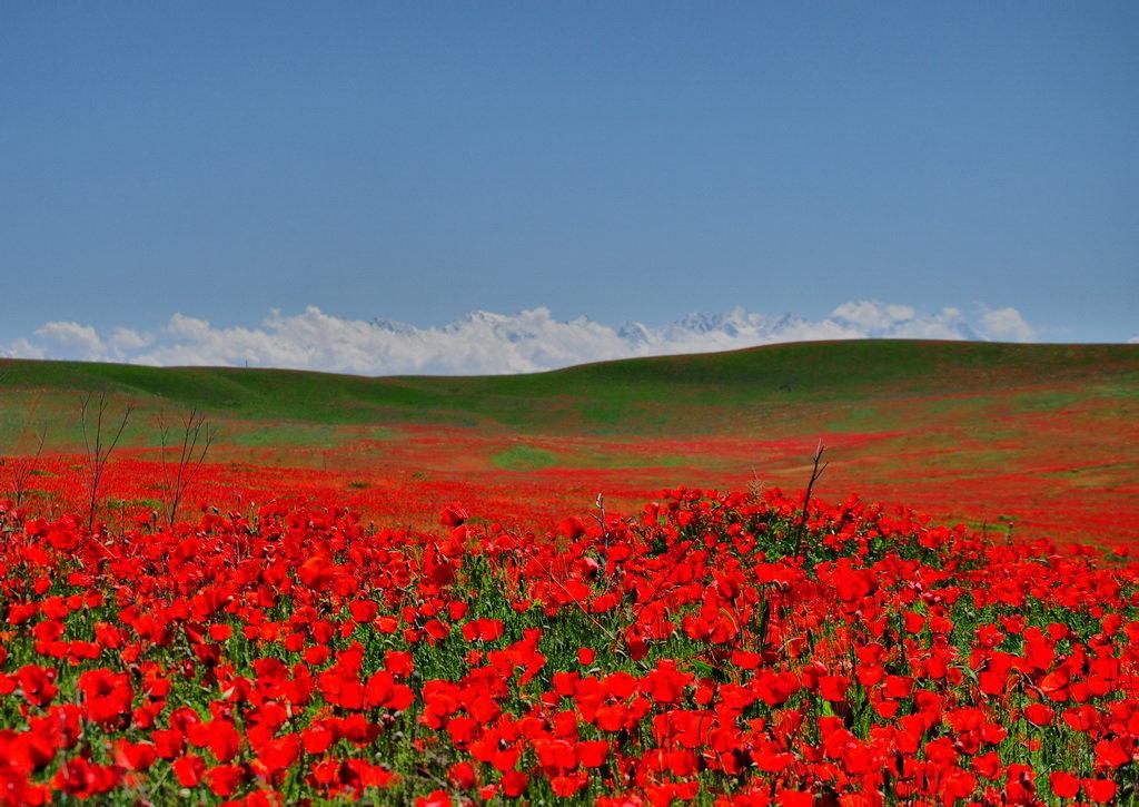 символизирует казахстан фото цветущие поля казахстана короткий тигр руках