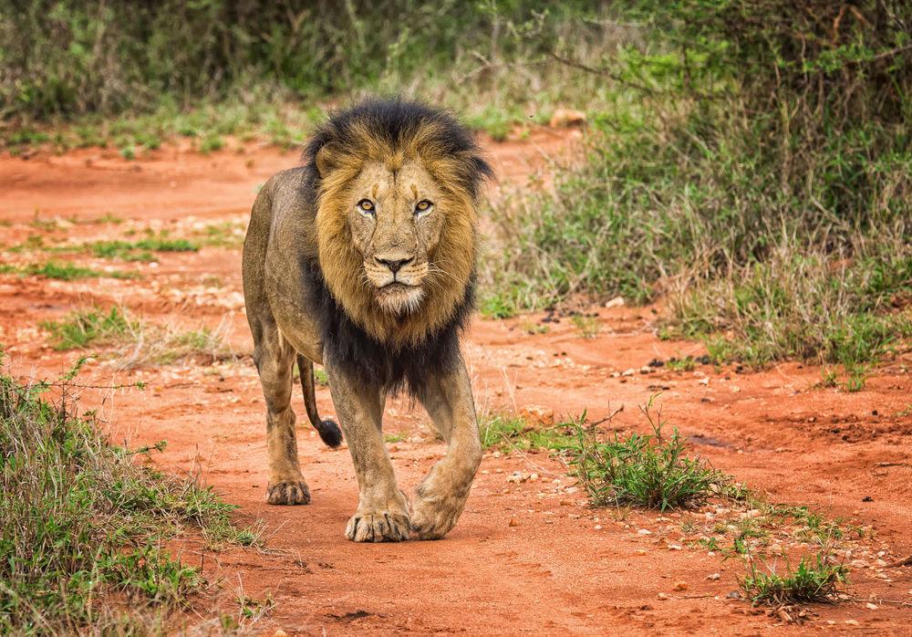 картинка шагающих львов одной