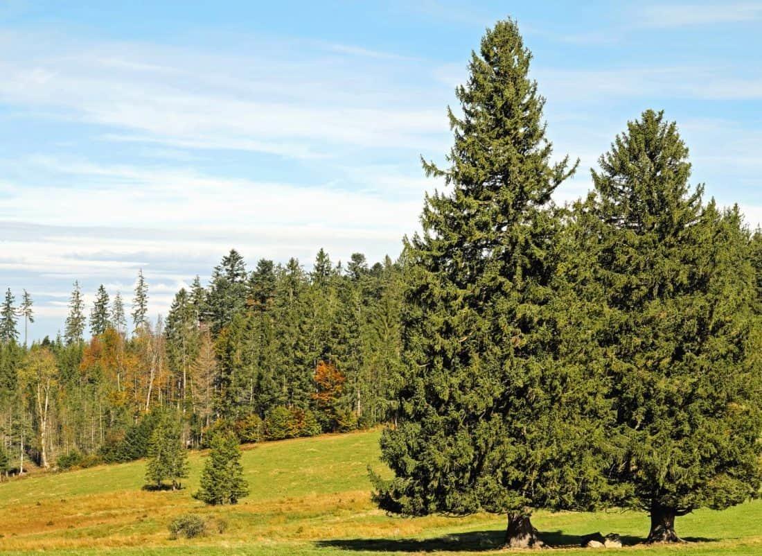 Высокая елка картинка