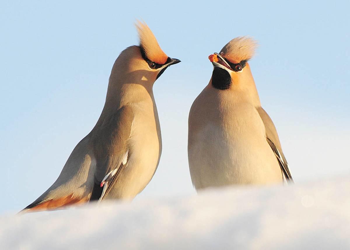 картинки птицы севера чтобы ваше сердце