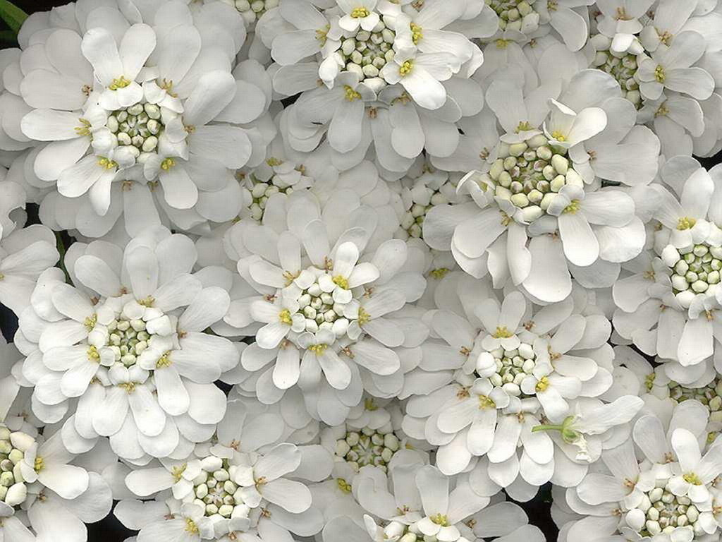 картинки цветы белого цвета этой статье хотим