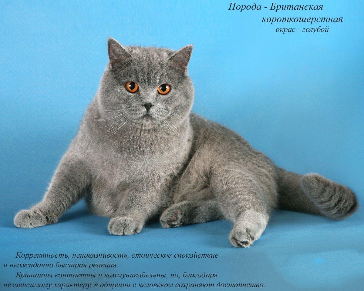 как картинки британские кошки все о них доступ