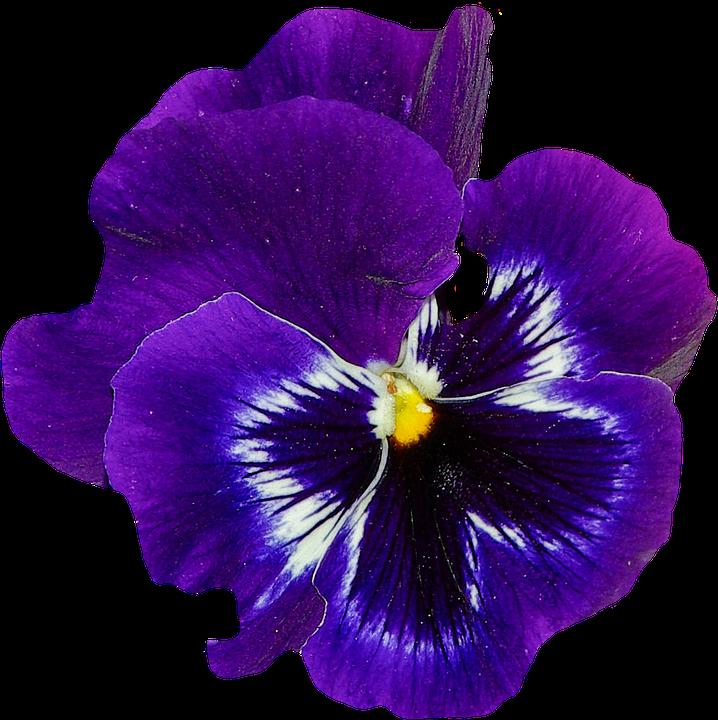 Надписью, картинка анютины глазки цветок на белом фоне
