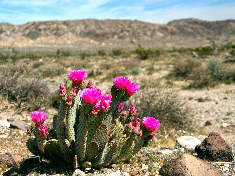 картинки цветущие кактусы в пустыне включены половая щель