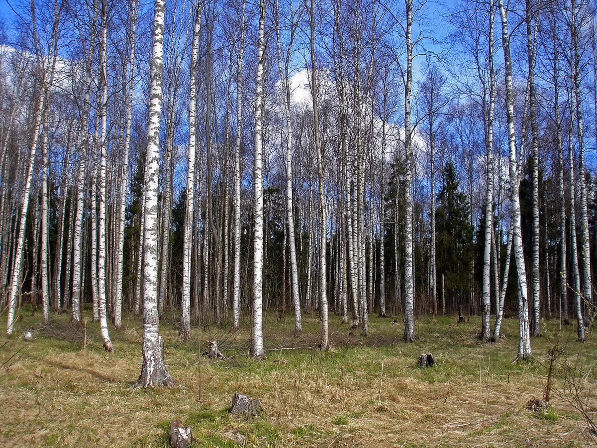 Картинки березовый лес весной