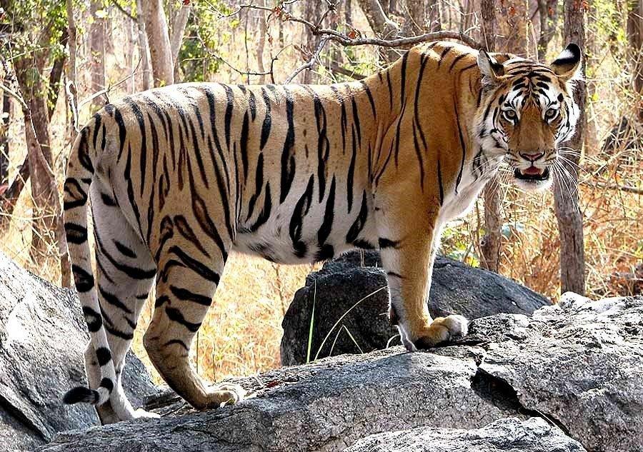 amazing facts about bengal tigers onekindplanet animal - 900×633