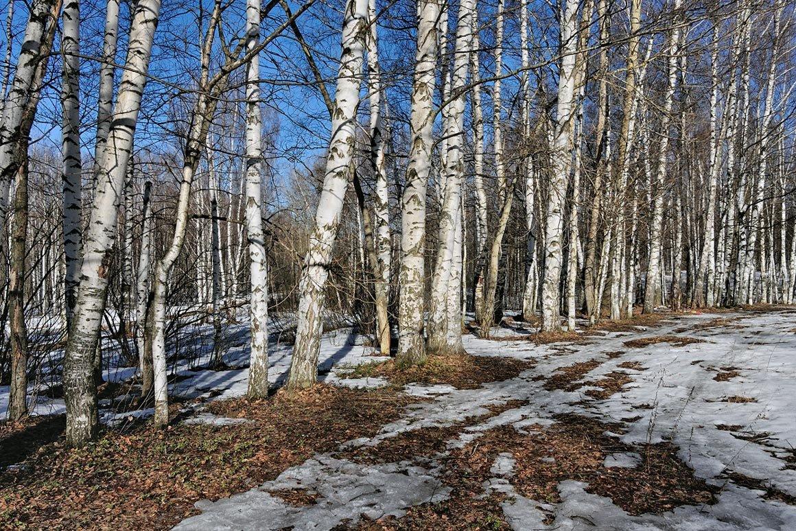 Альбина, картинки березовый лес весной