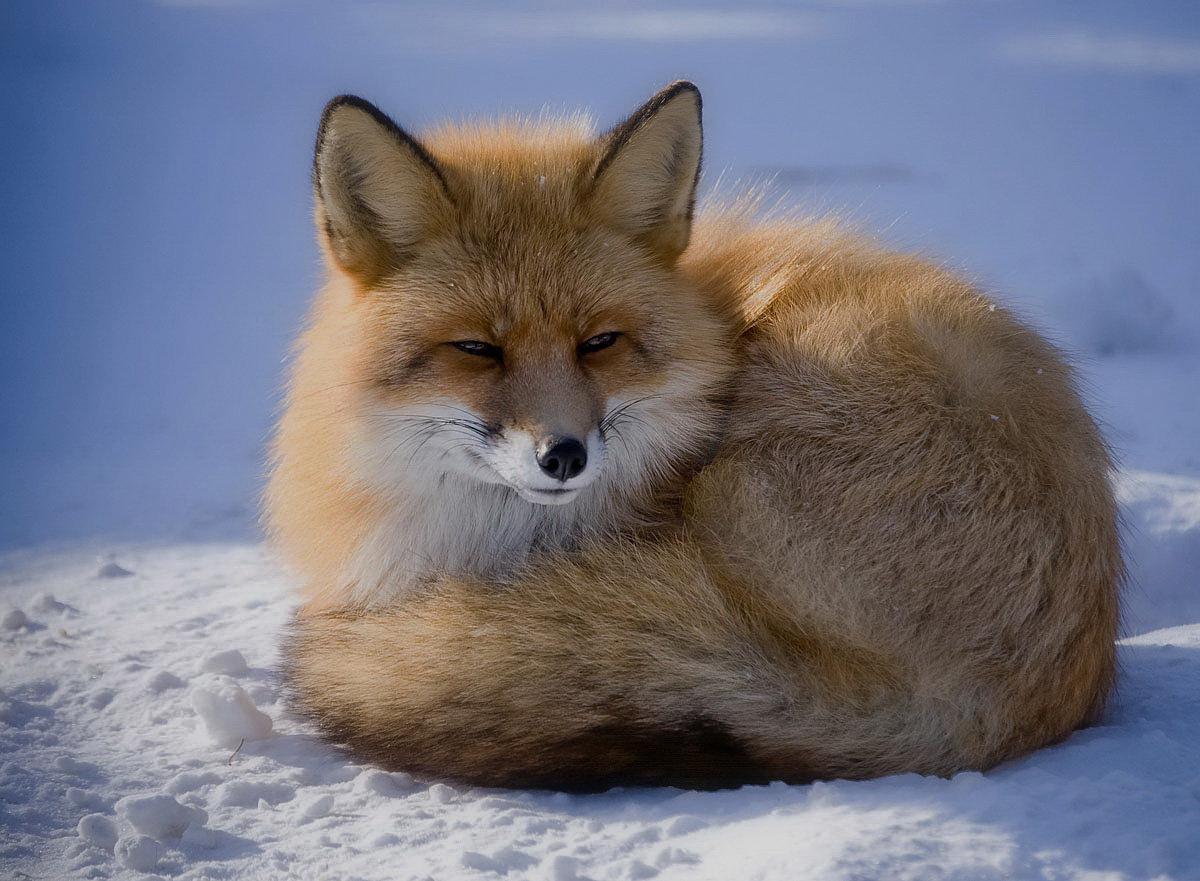 Дню энергетика, красивые картинки лисы