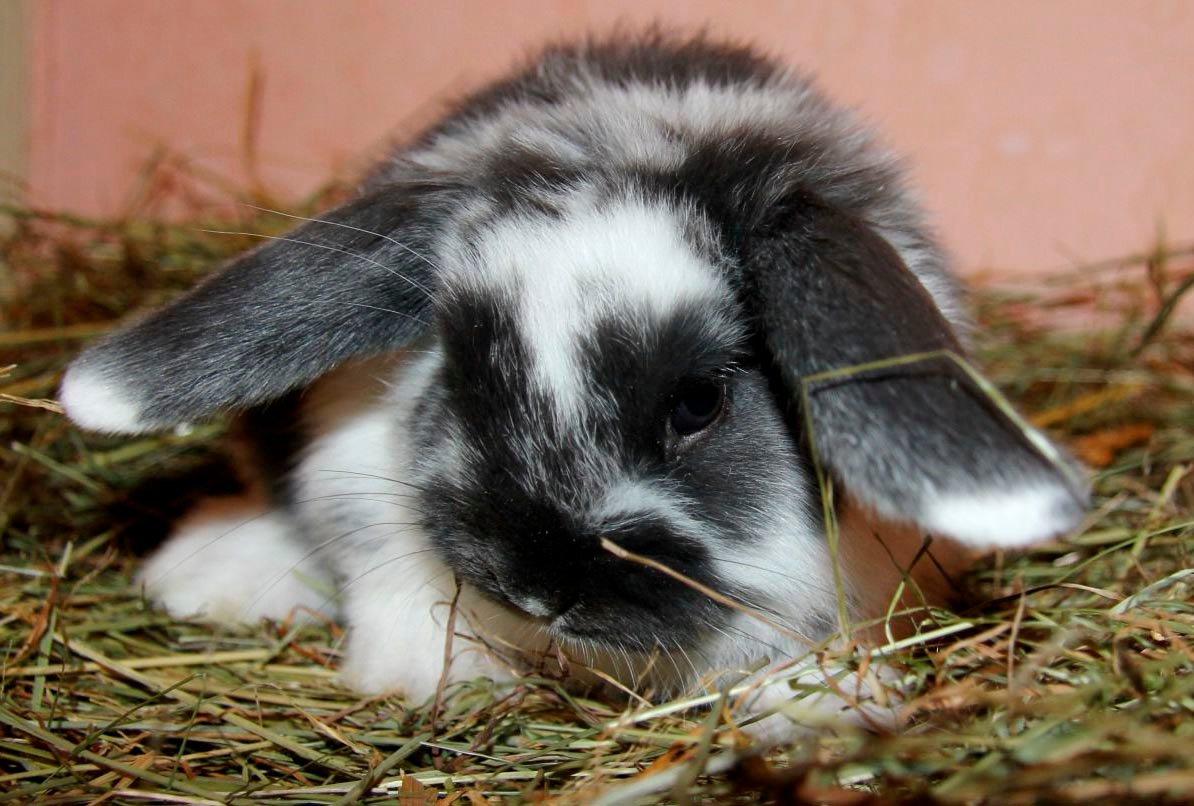 Картинки вислоухий декоративный кролик