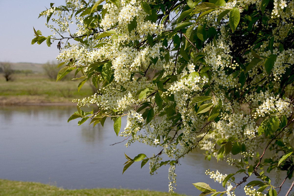 Картинки черемуха весной