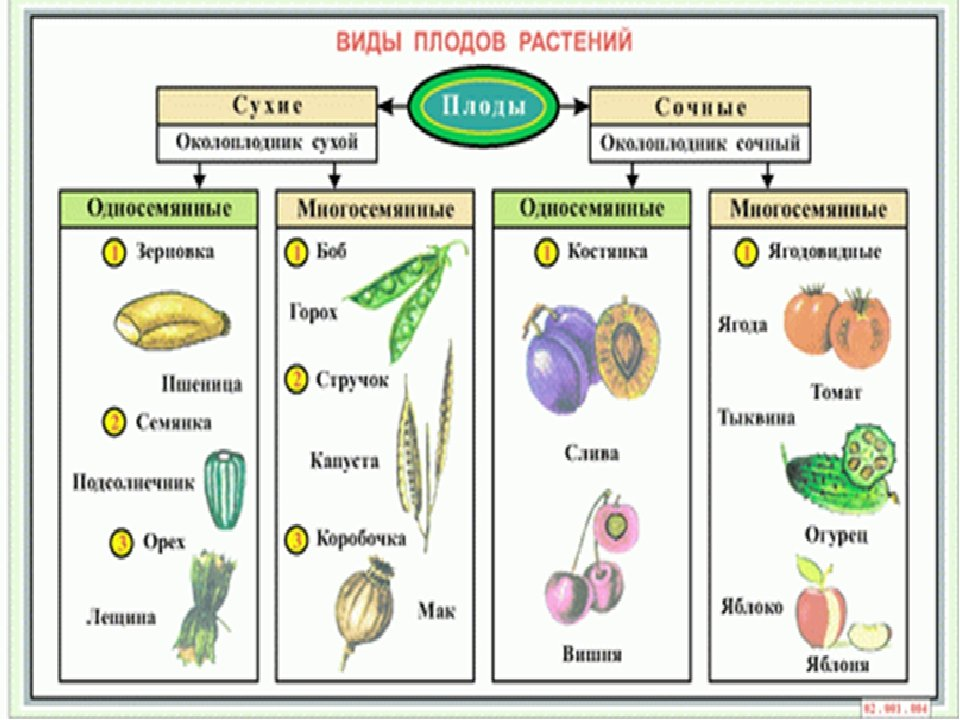 типа картинки плодов растений с названиями касается