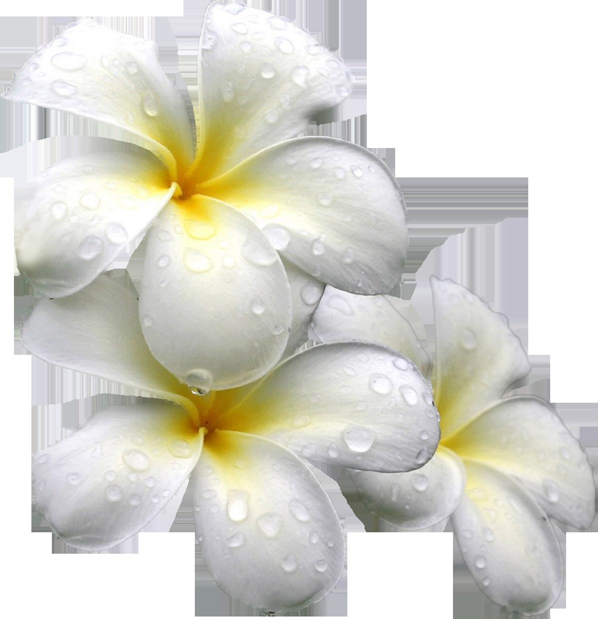 Картинки клипарт на прозрачном фоне цветы