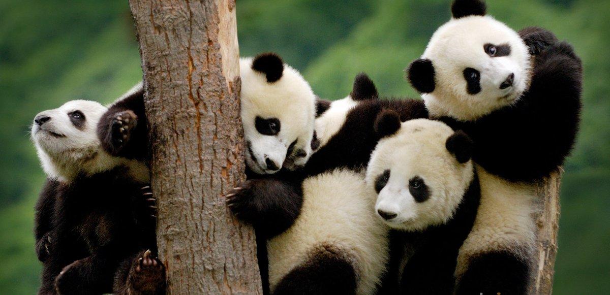 Фото самых смешных и милых панд, Архитектура, дизайн, фото