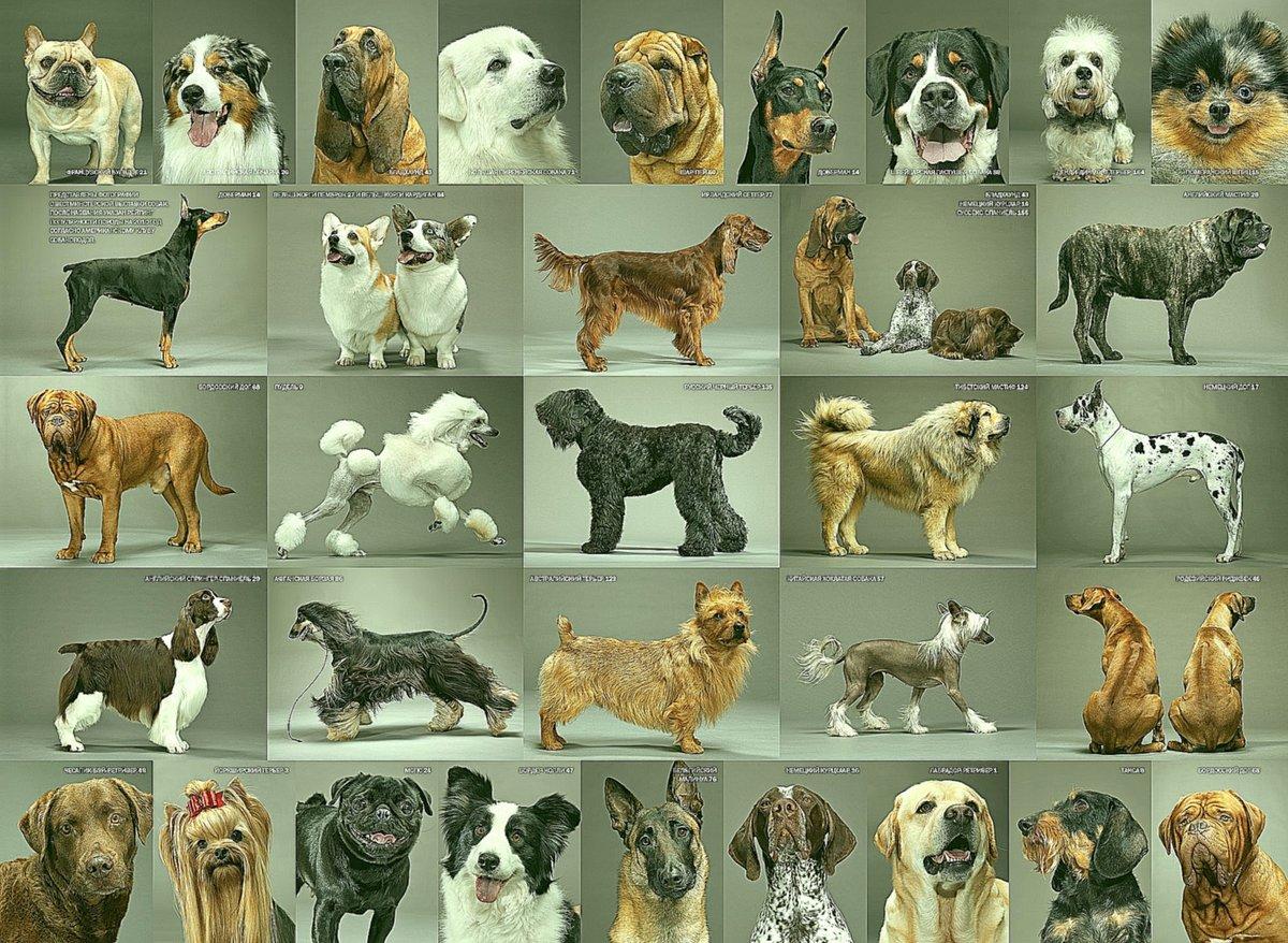 могу сказать, картинки всех собак с характеристиками и фото хозяюшек считается одной