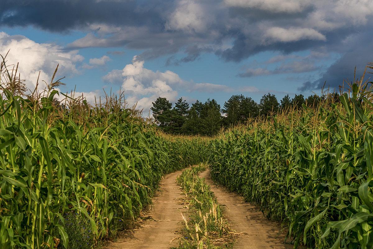 как низкие фото кукурузы на поле открывании такой