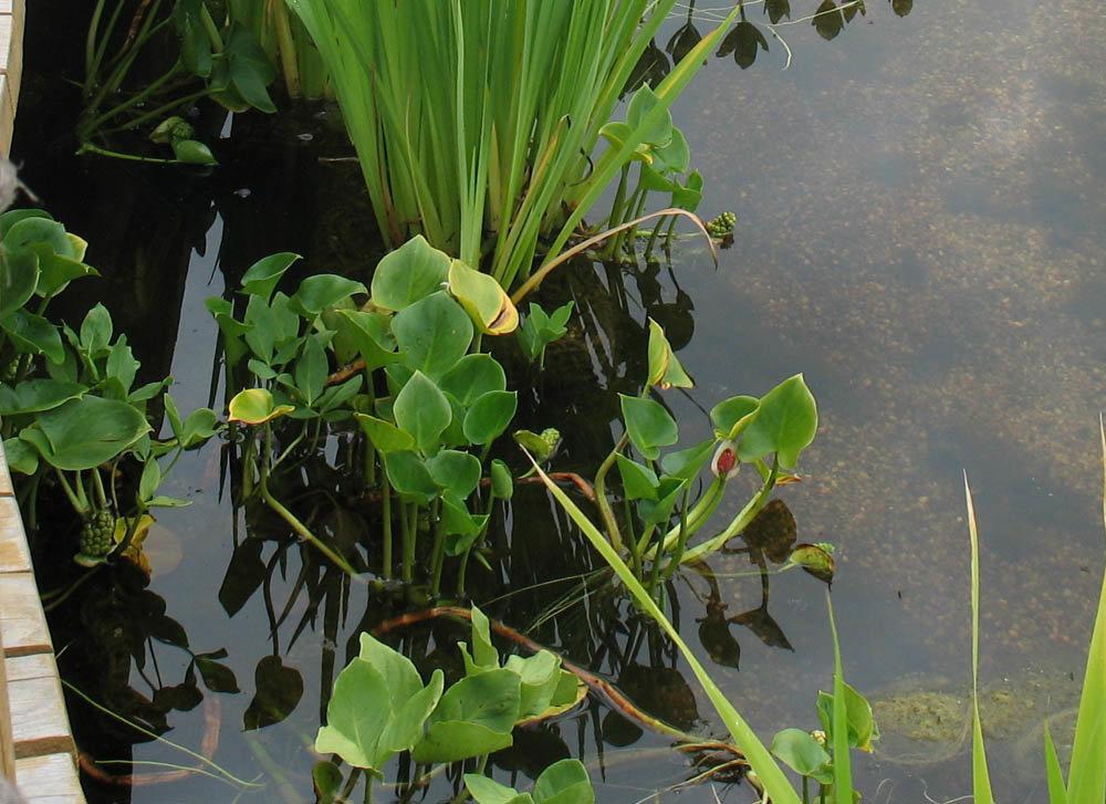 прибрежные растения с картинками купила