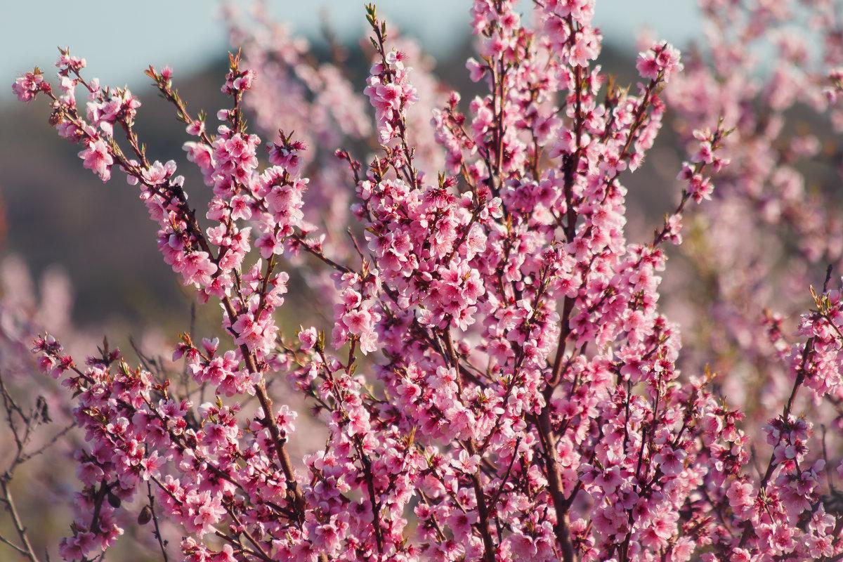 можно картинка цветущего персиками первое