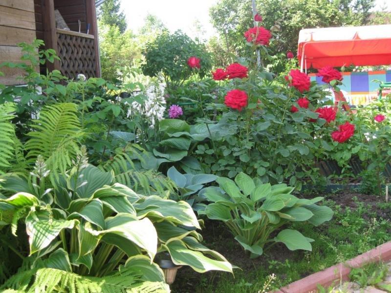что правшей фото хосты с розами сочетание именное