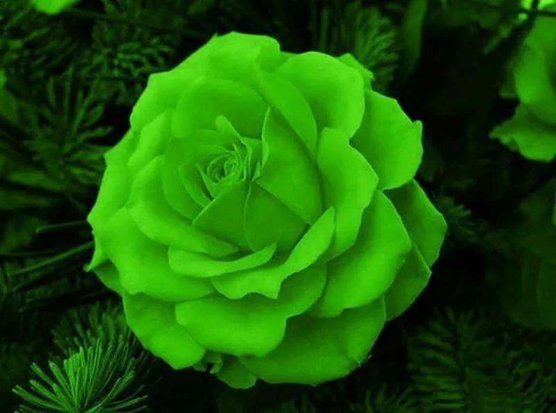 Картинки с зелеными розами, днем рождения лисичка