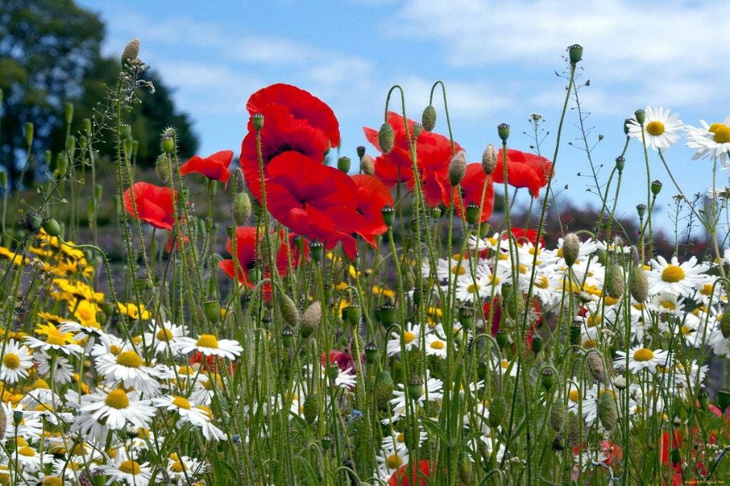 Изображения, открытка луговые цветы