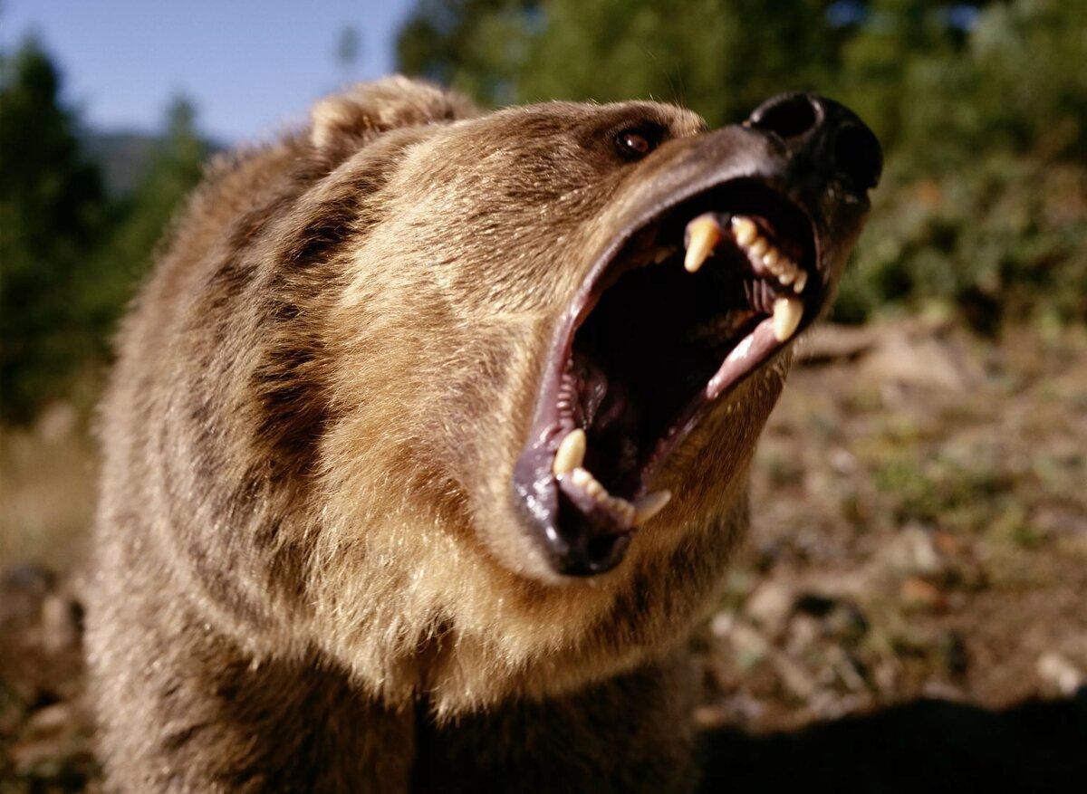 знаете, что фото оскалившегося медведя родилась обычной