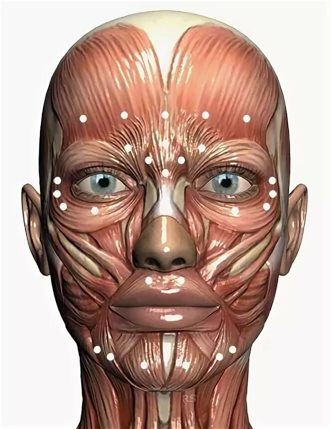 Анатомия мышц лица картинки