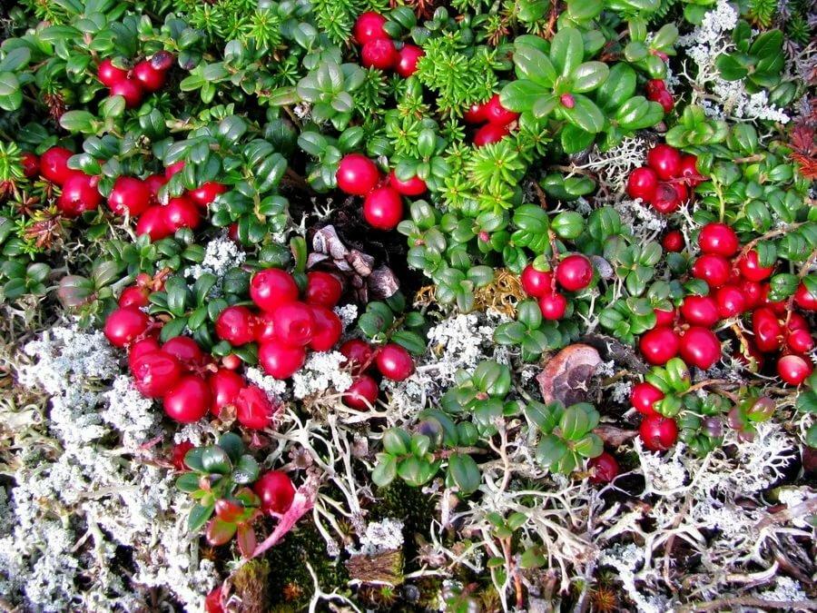 картинки ягод тундры есть