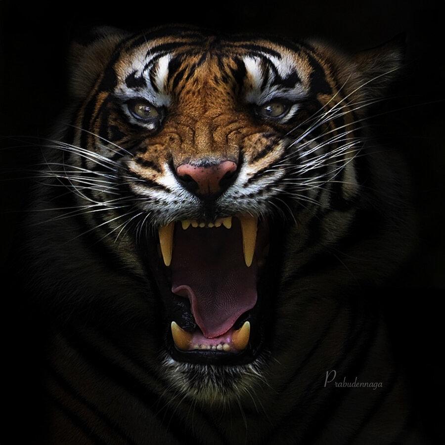 ВосÑищение тиграми