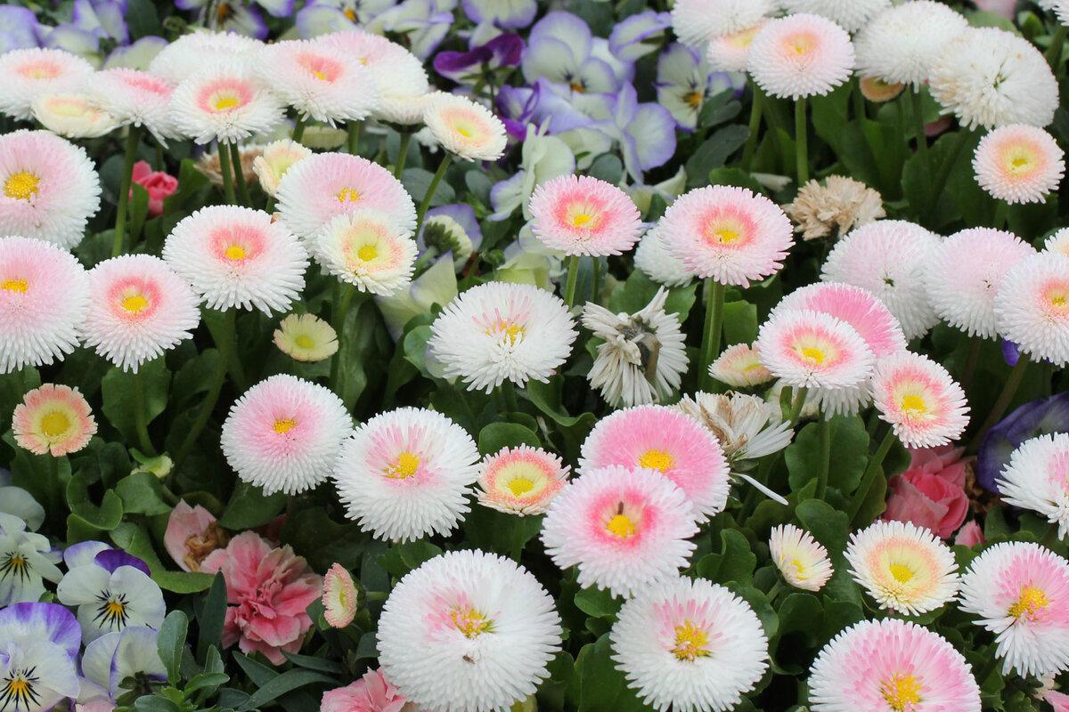 Фото маргаритка цветы картинки