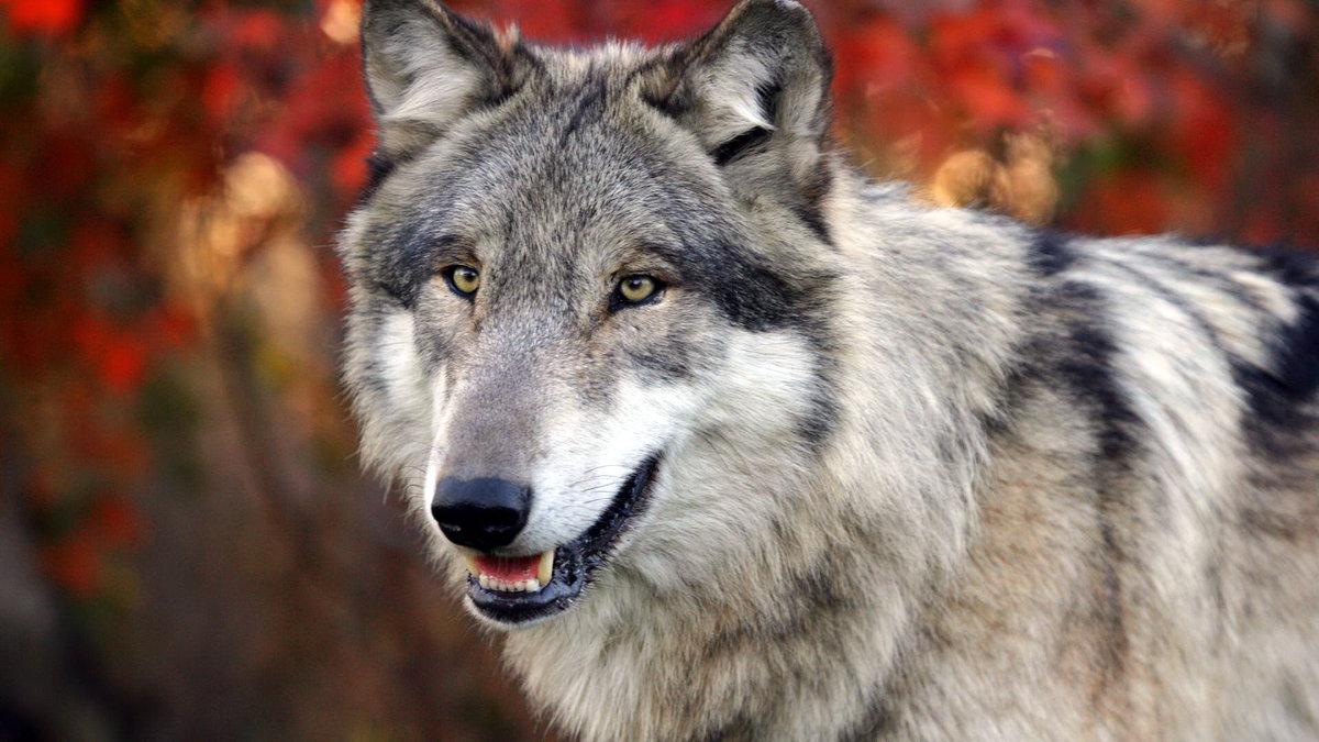 Добрым, картинки волков