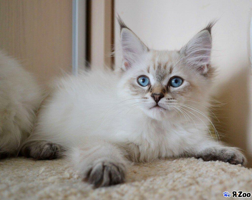 Невско-маскарадные кошки картинки