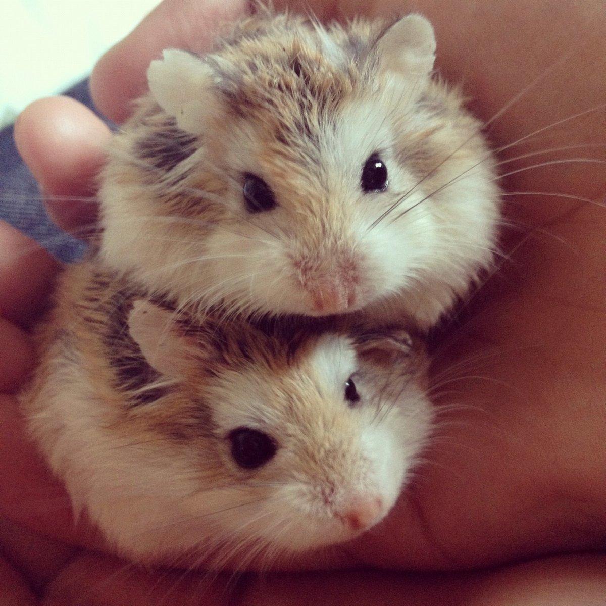 Милые картинки с хомячками