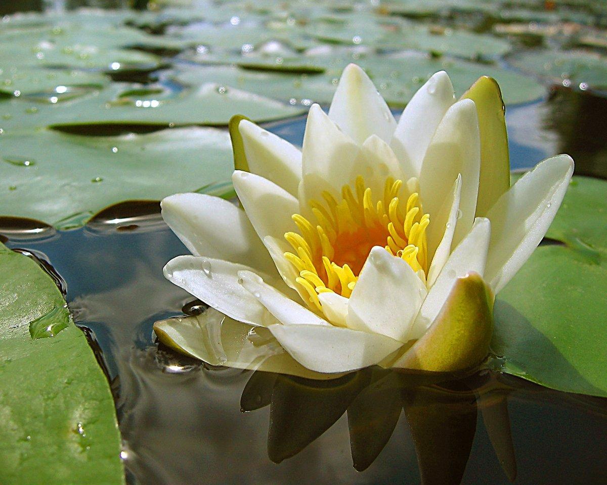 картинки с болотными лилиями справиться ней кому