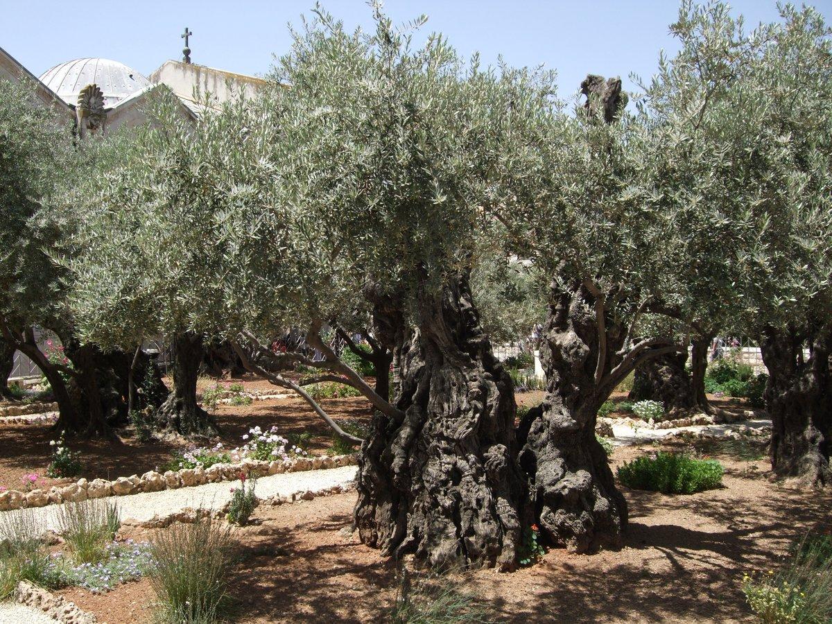 Гефсиманский сад иерусалим фото