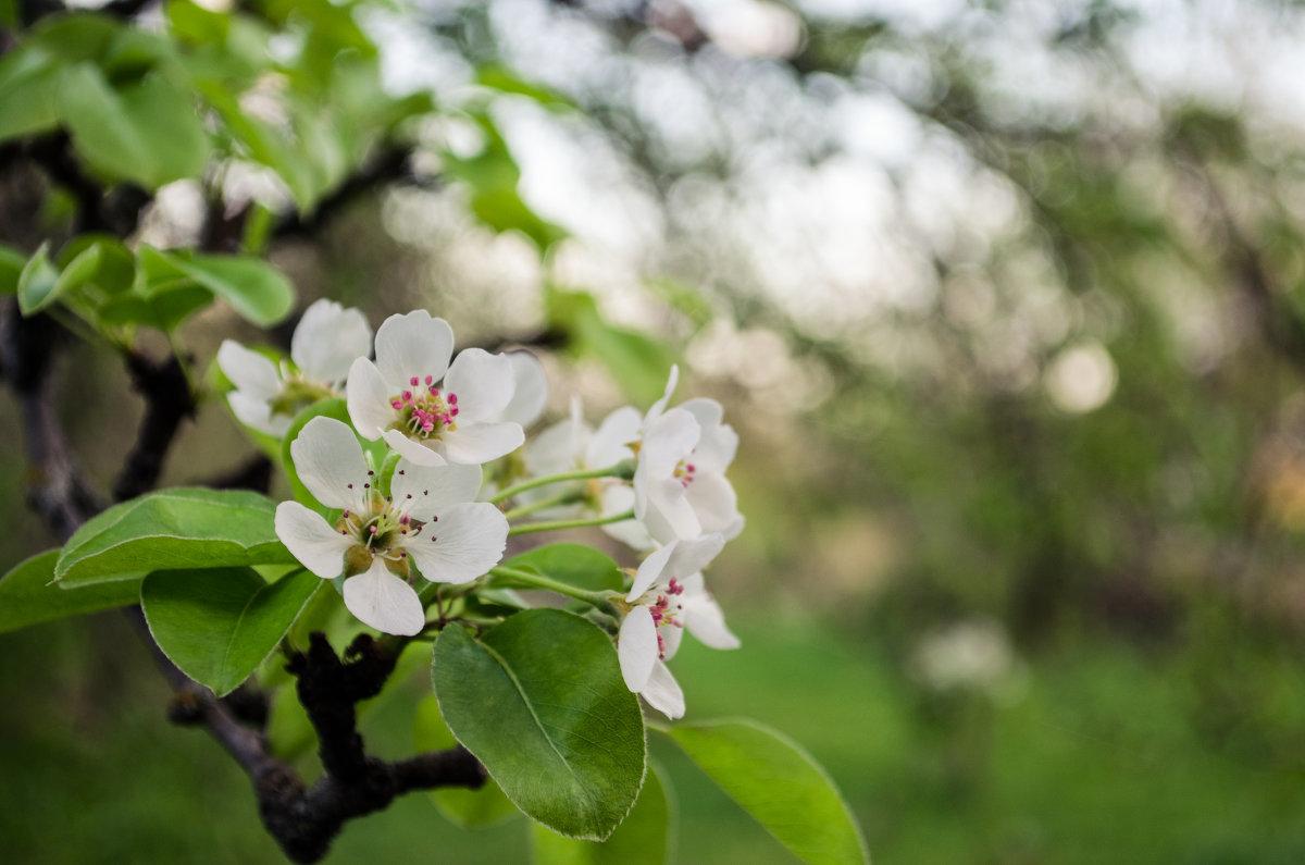 название оранта, цветение яблонь фото нас семье