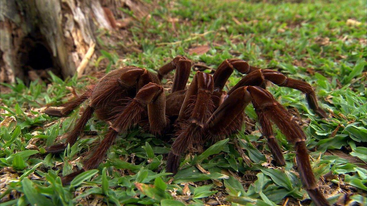 Самый страшный паук в мире картинка