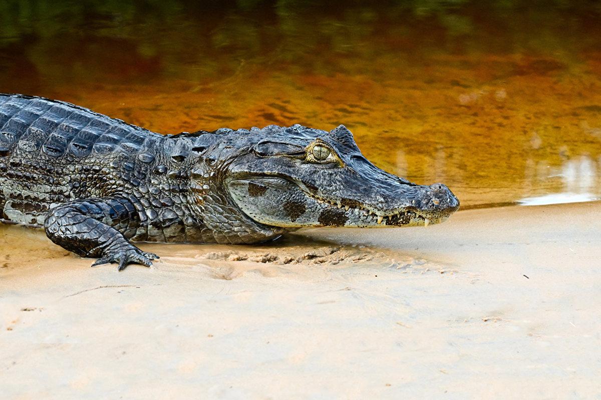 Картинки маленький крокодил