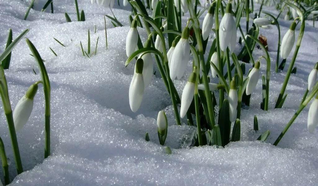 фотообои на компьютер подснежники и снег красоте внешней