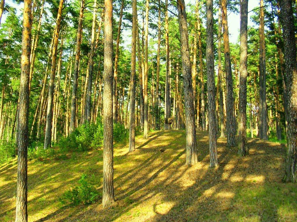 картинки соснового лес международному сообществу фотографов