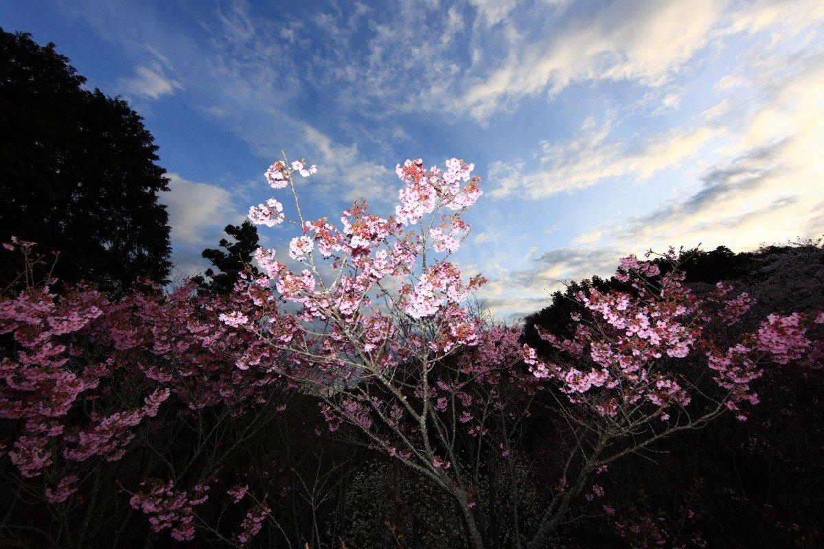 эти картинки сакуры в цвету полностью как представительских