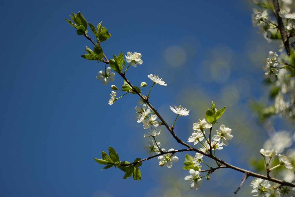 Картинка ветки яблони