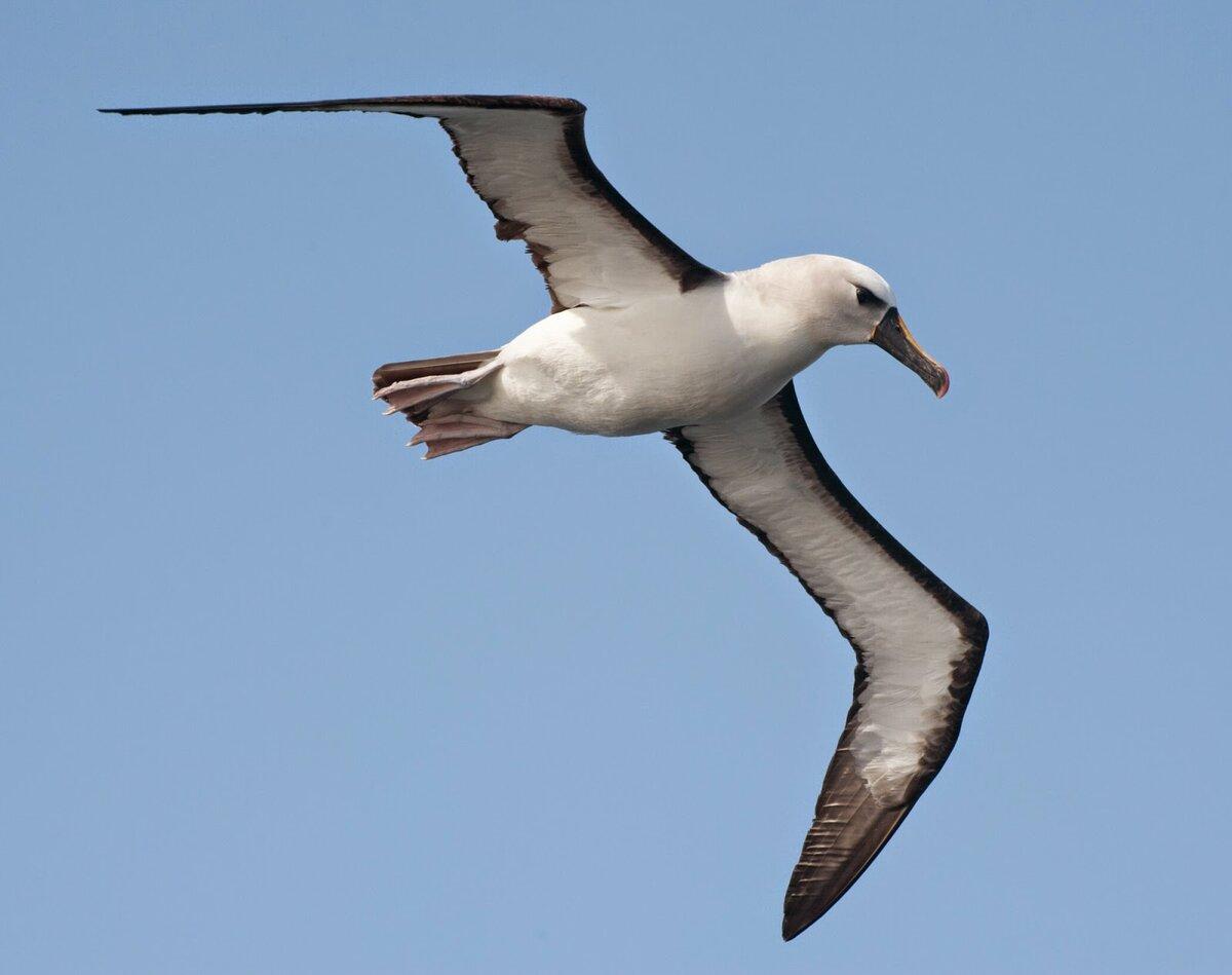 Картинки с альбатросами