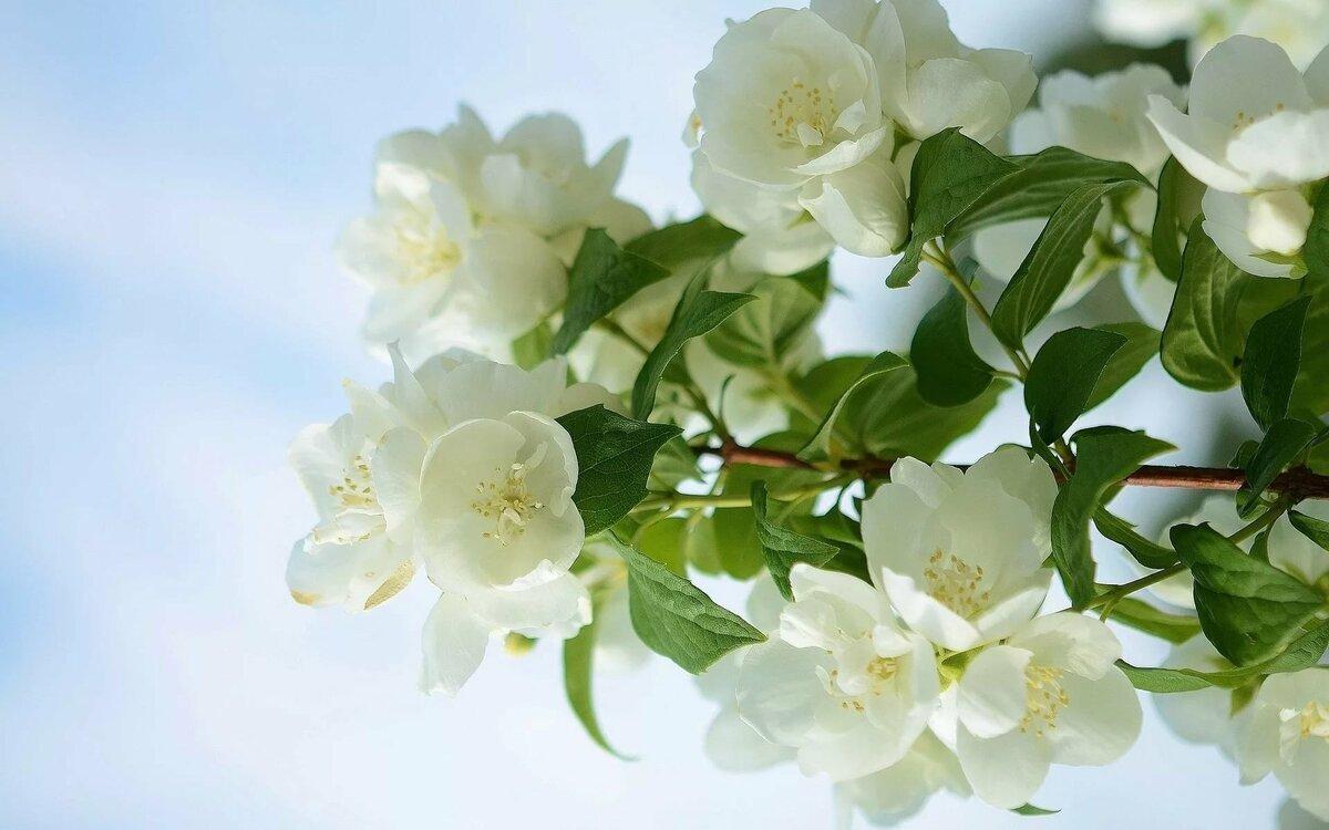 Жасмин цветок открытка, для поздравления